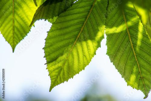 Foglie verdi di olmo in controluce sul ramo Fototapeta