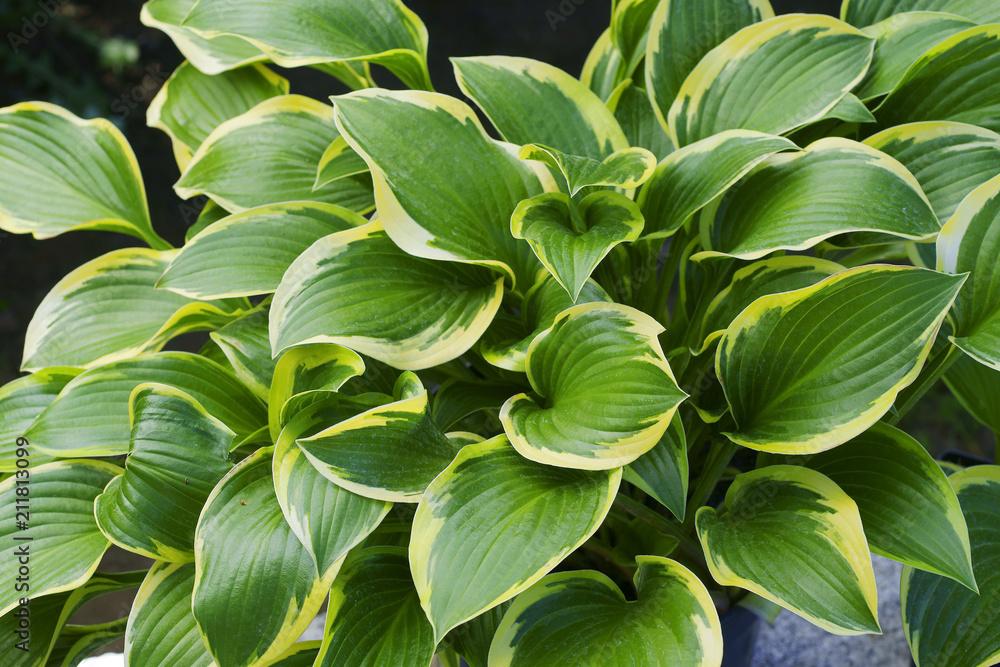 Fototapeta Hosta Queen Josephine / hostas / plantain lilies