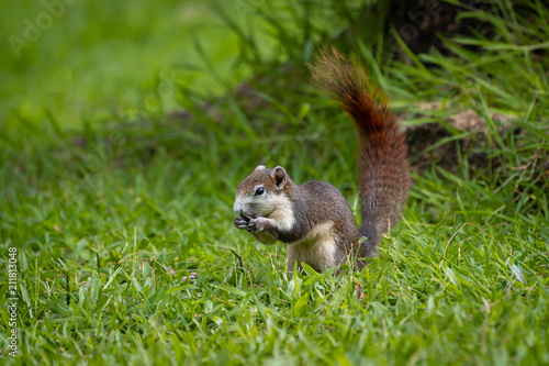 Foto op Plexiglas Eekhoorn Red squirrel in Thailand playing around and looking for food on the tree living in a nature