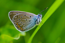 Spotted Butterfly Common Blue