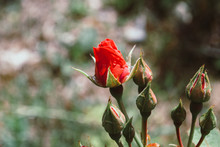 Red Rose Bud With Raindrop - P...