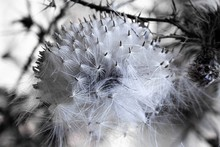 Round Fluffy Thistle Seed Ball, With Long Wispy Filaments And Smooth Seeds With Thorns And Branches In Background