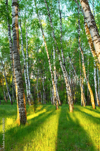 Birch grove in spring, green foliage, shadows from trees