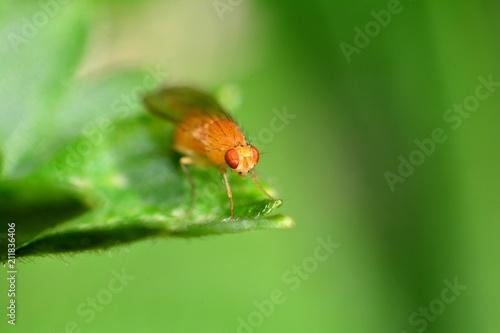 Drosophila Melanogaster    -  Fruchtfliege in orange in der grünen Natur