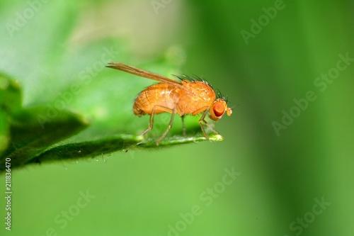 Drosophila Melanogaster    -  Fruchtfliege in orange auf einem Blatt  in der grünen Natur