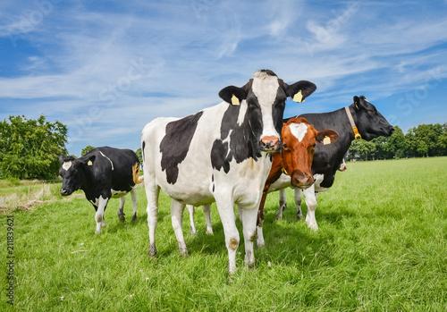 Landwirtschaft - Image, junge, schöne Holstein-Frisian Kühe auf einer Weide