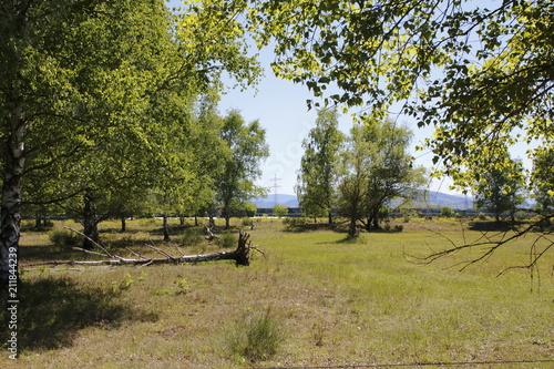 Photo  Laubbäume, Birken mit umgestürtzten Bäumen und Wurzeln, auf einer Steppe im Natu