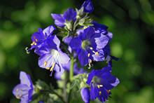 Blue Flowers Polemonium Caeruleum Or Jacob's-ladder