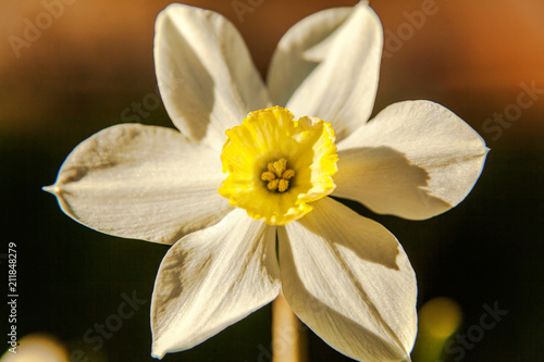 Papiers peints Narcisse Blooming Narcissus daffodils. Flower bed jonquils with blurred bokeh background. Inspirational natural floral spring or summer blooming garden or park. Colorful blooming ecology nature landscape