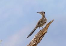 Roadrunner On Branch, Surveying Its Domain In Central New Mexico