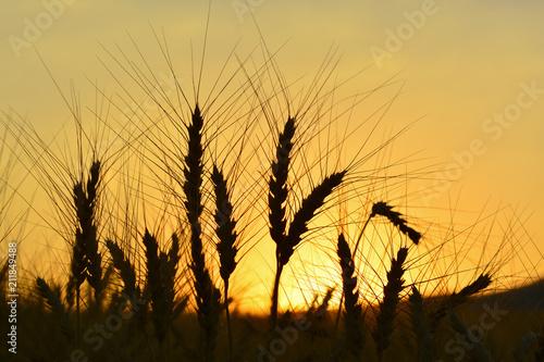 Buğday Başağı Poster