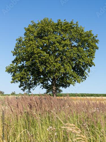 Spitzahorn (Acer platanoides) im Sommer; Ahornbaum; Norway Maple in Germany