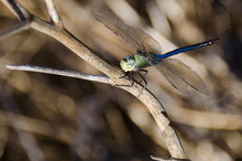 Blue Green Dragonfly