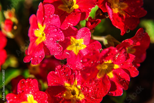 Staande foto Roze Primrose Primula with red flowers. Inspirational natural floral spring or summer blooming garden or park under soft sunlight and blurred bokeh background. Colorful blooming ecology nature landscape