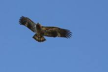 Juvenile Bald Eagle In Flight ...
