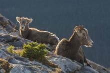 Rocky Mountain Bighorn Sheep Ewe And Lamb (Ovis Canadensis), Jasper National Park, Alberta, Canada
