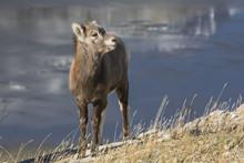 Rocky Mountain Bighorn Sheep Lamb (Ovis Canadensis), Jasper National Park, Alberta, Canada