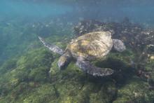 Pacific Green Sea Turtle (Chel...