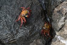 Sally Lightfoot Crab (Grapsus Grapsus), South Plaza Island, Galapagos Islands, Ecuador