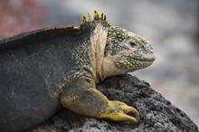 Land Iguana, Conolophus Subcri...