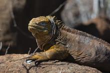 Land Iguana (Conolophus Subcristatus), North Seymour Island, Galapagos Islands, Ecuador