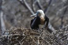 Magnificent Frigate Bird (Fregata Magnificens), North Seymour Island, Galapagos Islands, Ecuador
