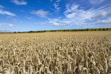 Large Ripening Wheat Field In ...
