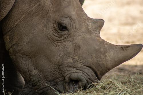 Fényképezés  Southern white rhino