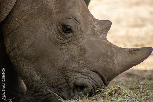 Fotografija  Southern white rhino