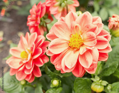Pink blossoms of dahlia from close-up. Detailed and beautiful. Fototapete