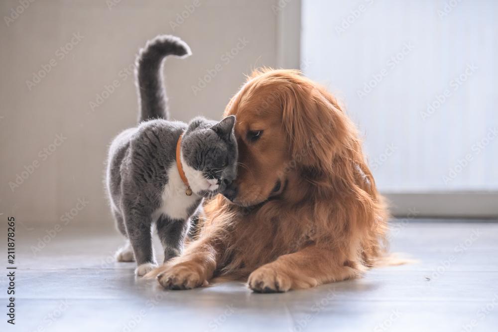 Fototapeta British short hair cat and golden retriever