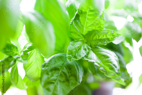 Poster Aromatische Basil growing in tin cans