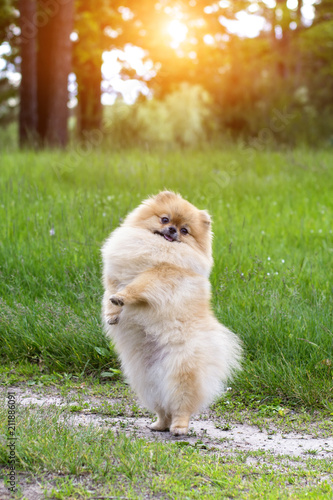 Puppy standing on his hind legs. Funny puppy. Canvas Print