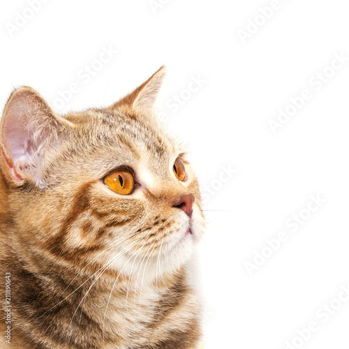Tuinposter Eekhoorn Portrait of a British breed cat