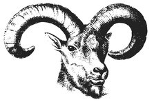 Ram Head - Equus #vector #isolated - Widderkopf Widder
