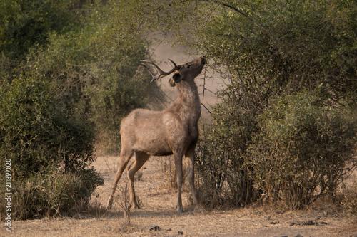 Spoed Foto op Canvas Antilope Sambarhirsch neben Busch