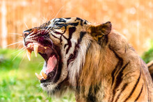 Angry Tiger Roaring And Showin...