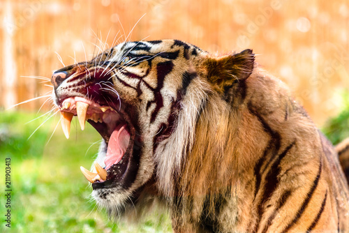 In de dag Tijger Angry tiger roaring and showing fangs in open mouth