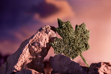 Recreational Cannabis Legalization In Canada. A Huge Maple Leaf Made From Dry Weed, Leant Against The Rock. The  Canadian Emblem Incorporated Into The Mountain Landscape, Over The Sunset Background.