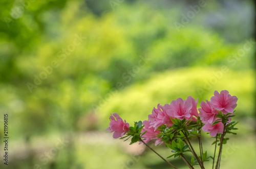 Deurstickers Azalea ピンク色のツツジ