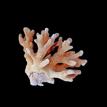 Colr Coral Isolated On Black Background