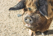 The Kunekune, Is A Small Breed...