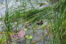 Pond With A Frog Resting
