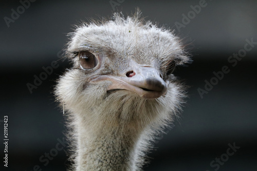 Staande foto Struisvogel Ostrich close-up portrait