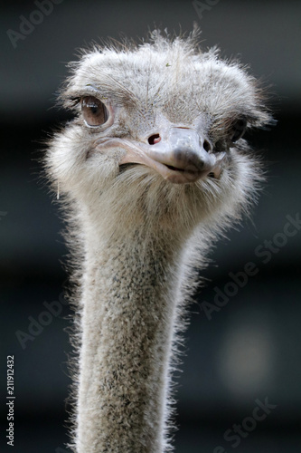 Spoed Foto op Canvas Struisvogel Ostrich close-up portrait
