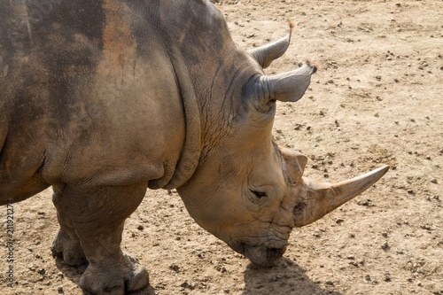 Foto op Aluminium Neushoorn Rhino Close Up