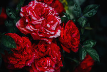 Close-up Of Red Roses