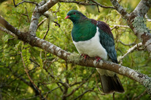 New Zealand Pigeon - Hemiphaga...