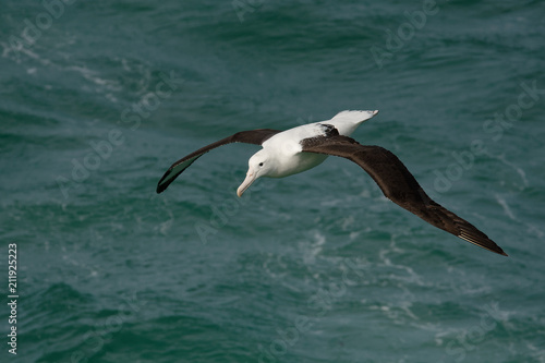 Photo Diomedea sanfordi - Northern Royal Albatross flying above the sea in New Zealand