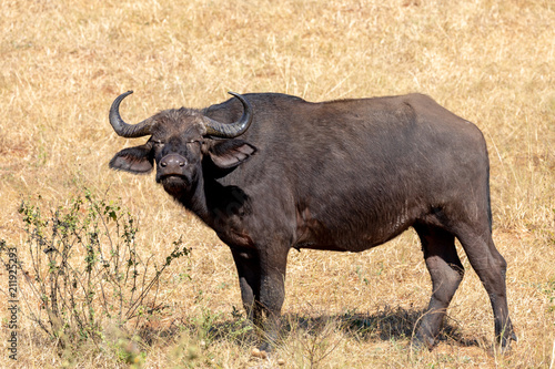 Fotobehang Buffel Cape Buffalo at Chobe, Botswana safari wildlife